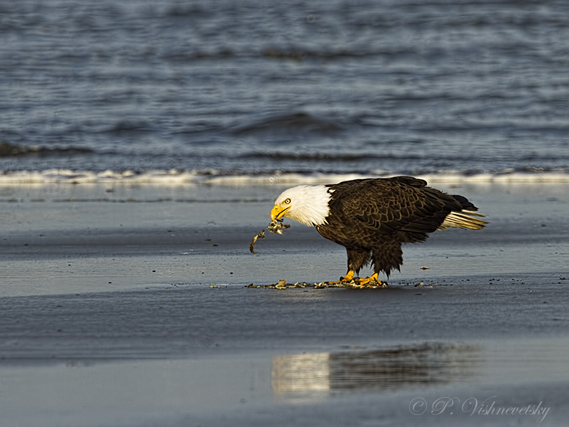 Bald Eagle Eating Duck Bald Eagle Eating a Crab